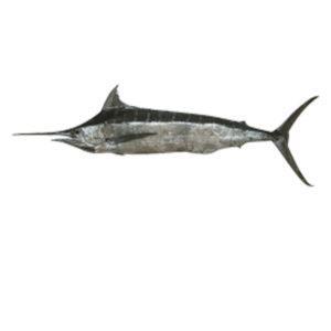 Blue-Marlin-Fresh